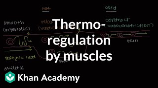 Thermoregulation by muscles