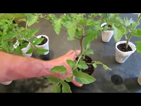 How To Create Double Stem Tomatoes What Are Double Production Stems