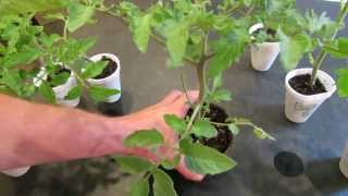 How to Create Double Stem Tomatoes: What are Double Production Stems? - The Rusted Garden 2013