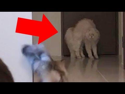 【貴重映像】◯◯に驚いたマロン、一気に逆立つ!!