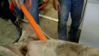 Ashley Prepares the Sheep For AI