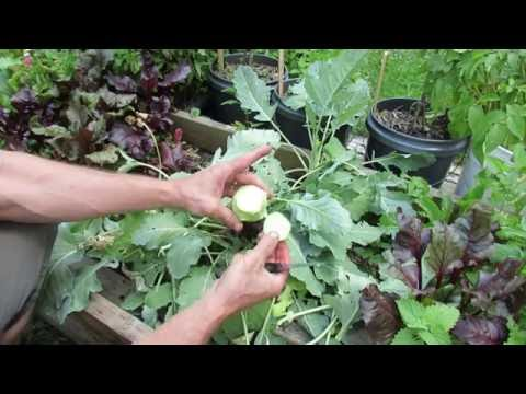 Kohlrabi: Harvest and Introduction: A Cultivar of Cabbage -TRG 2016