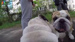 ГоПро и Мопс - Мир глазами собаки / GoPro and Pug - Go pro dog