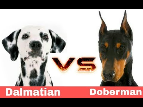 Doberman vs Dalmatian | Dog Comparison in Telugu | Taju logics