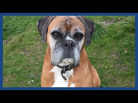 How we cloned our dead boxer dog Dylan