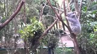 Коала помогает своему Испуганному Детенышу Koala Видео про животных Animal videos