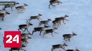 В Красноярском крае задержаны браконьеры, убивавшие диких оленей