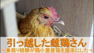 """2018年7月初旬のこと。 我が家の若雌鶏""""かえで""""は、58日間の巣籠りを辞..."""