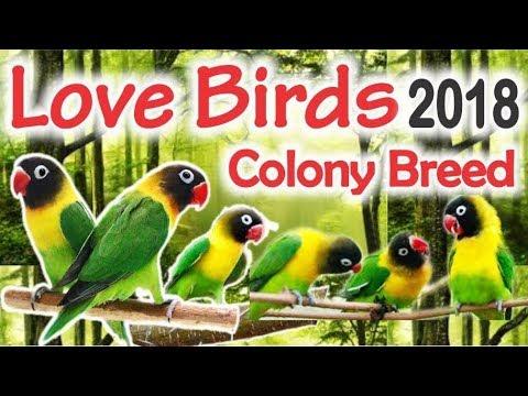 Black Mask Breeder Pairs Colony | Yellow Chest Lovebirds Breed 2018 Urdu/Hindi