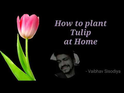 How To Plant Tulip At Home, Easily Plant Tulip, Tulip In India By Vaibhav Sisodiya