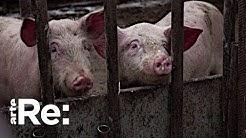 Schweinepest auf dem Vormarsch   ARTE Re: