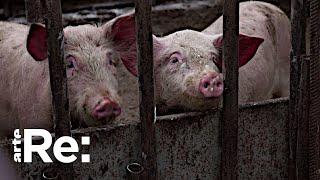 Schweinepest auf dem Vormarsch | ARTE Re: