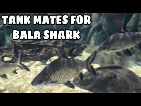 Tank Mates For Bala Shark   Tank Mates For Silver Shark   Prathmesh Aquatics