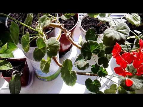 Цветок олеандр – уход в домашних условиях, фото олеандра и