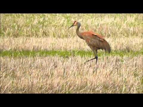 Sandhill Crane (Grus canadensis), Northeast Montana