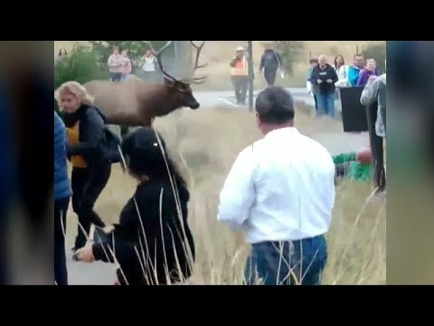 Elk rams man at Yellowstone National Park