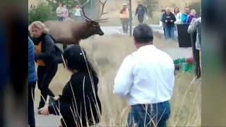 Elk rams man at Yellowstone National Park