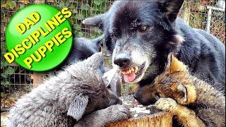 WARNING!! Dad Disciplines Puppies  Pack Feeding