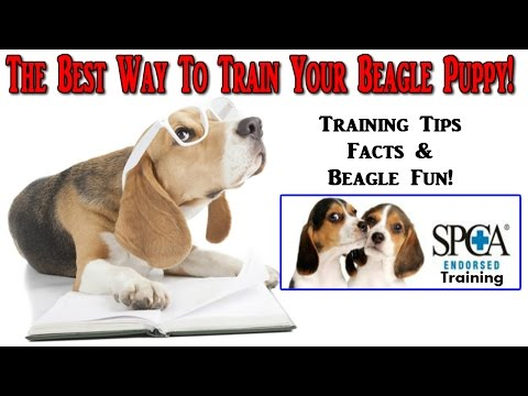 how-to-train-a-beagle-puppy-☼-start-today-☼-best-way-to-train-beagle-puppies-◄◄◄