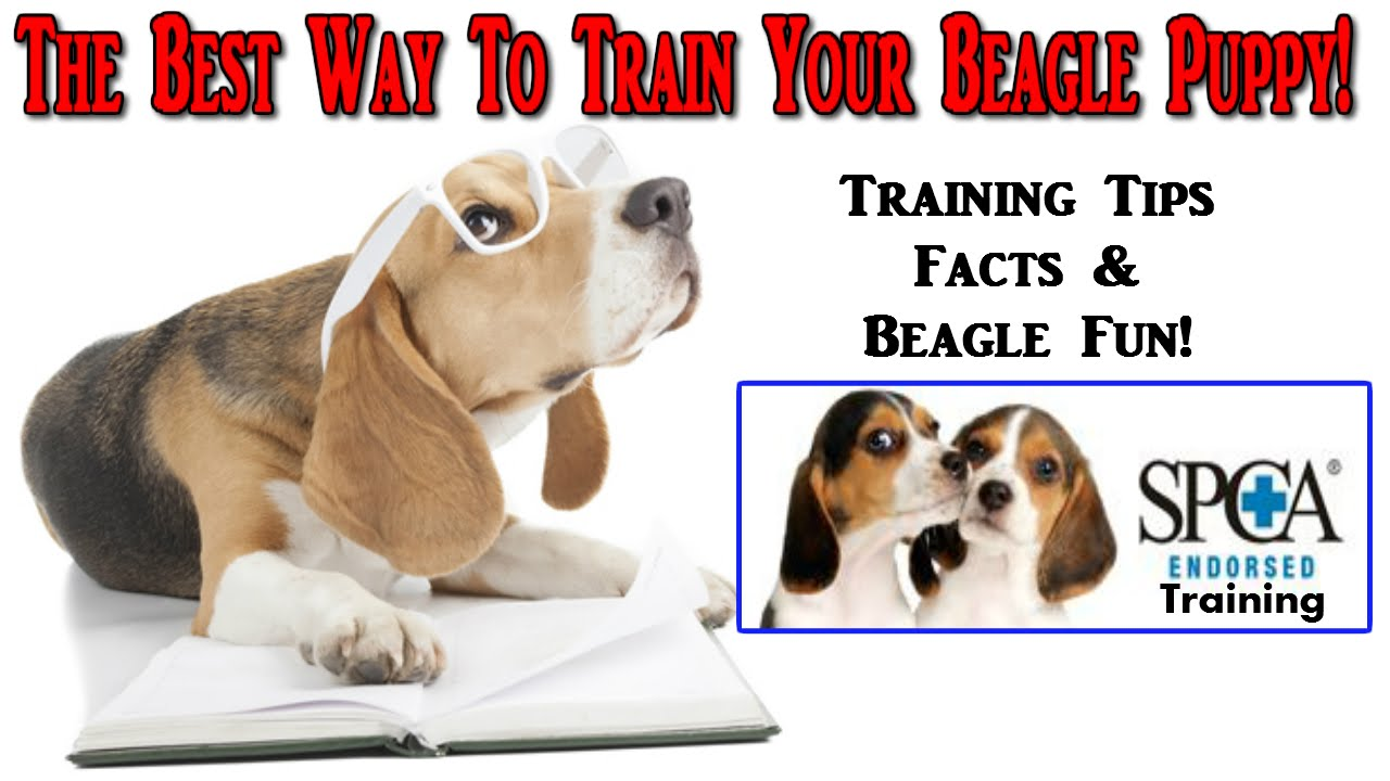 Best Puppy Food For Beagles