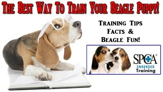 How To Train A Beagle Puppy ☼ START TODAY ☼ Best Way To Train Beagle Puppies ◄◄◄