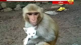 स्पेशल रिपोर्ट : नाशिक : माकडीणीला मांजराच्या पिलाचा लळा