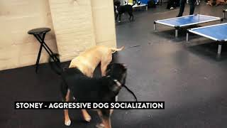 Dog Aggressive Dog Learns How To Play With Others
