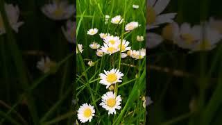 Daisy ❤️