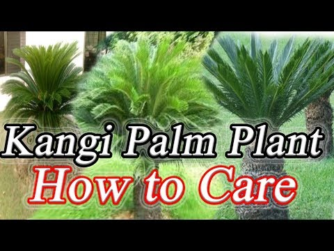 "How To Care And Grow Of Kangi Palm/Sago Palm With Guidance | ""Pattoki Plant"""