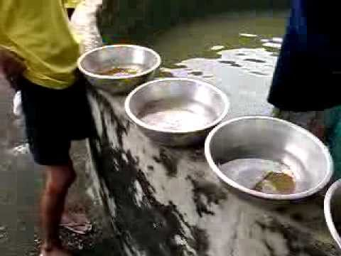 Breeding Tilapia