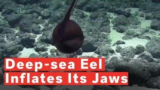 Mysterious Deep-Sea Eel Balloons Its Massive Jaws