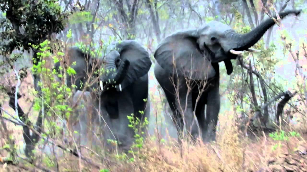 angry elephants charging youtube