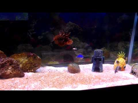 Dwarf lion fish and hi hat fish feeding time youtube for High hat fish