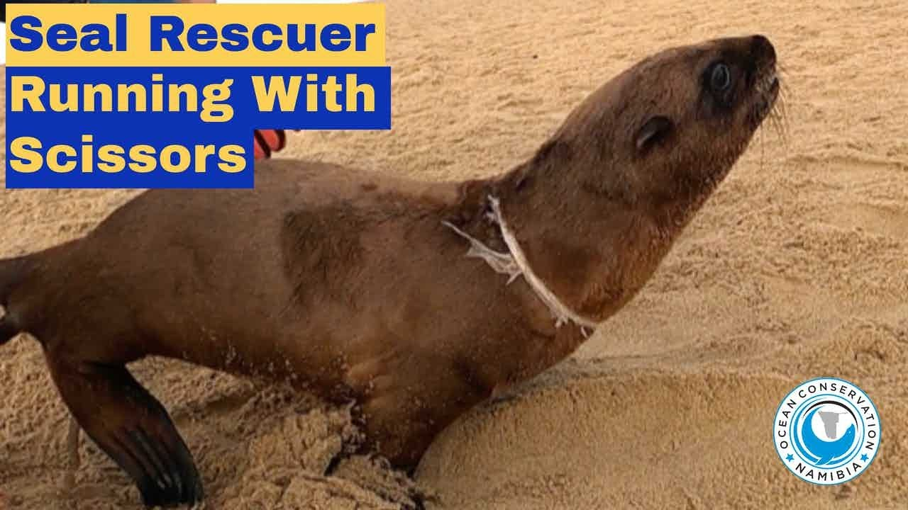 Seal Rescuer Running with Scissors