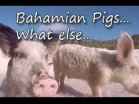 PIGS on a BEACH in the Bahamas ! (Ep.12)