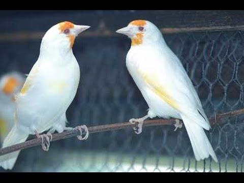 بعض طفرات طائر الحسون التي يمكن الحصول عليها