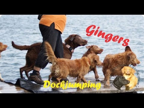 Nova Scotia Duck Tolling and Chesapeake Bay Retrievers dockjumping