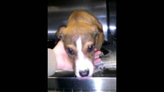 #62774 - Male Lab/boxer Pup @ Rowan Cty Shelter(1)