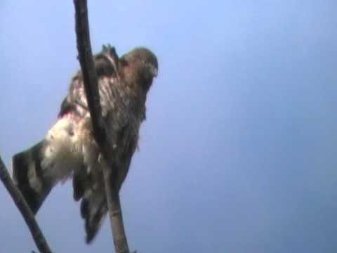 004  Redtail Hawk in Brookdale Park Montclair