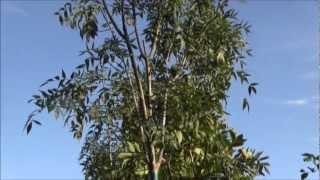Super Raywood Ash Trees