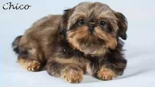 Shih Tzu Puppies For Sale - Romsey, Hampshire