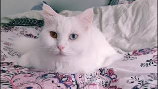 Turkish Angora // Turkish Van cat, dual color eyes, relaxing on bed (which is it?)