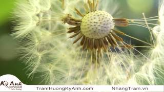 Trầm Hương Kỳ Anh   Nhạc Hòa Tấu Giảm Stress 8   Hoa Bồ Công Anh Dandelion