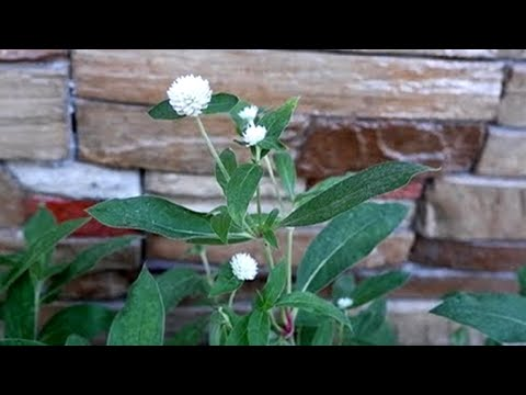 How To Grow Gomphrena Globosa 'Ping Pong White' Flower From Seeds To Mature Plant