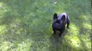 French Bulldog Loves To Play And Chase Down Squeaky Toy Show Dog Champion