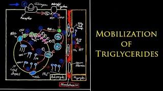 Biochemistry - Mobilization of Triglycerides