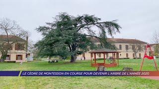 Yvelines | Le cèdre de Montesson en course pour devenir l'arbre de l'année 2020
