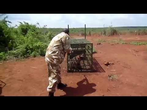 KWS finally captures rogue Marsabit hyena