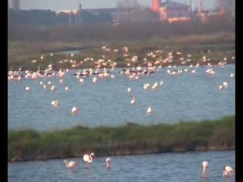 FENICOTTERI ROSA IN VOLO sul Delta del Po