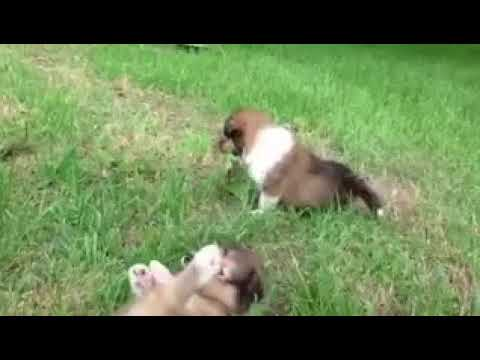 Puppies of Rough Collie PHIL1